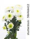 Small photo of Chrysanthemum Indicum Grp Tros santini AAA Solange
