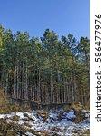 Winter Sunlit Forest Pine Tree...