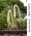 Small photo of Agave attenuata, plants of Madeira, Portugal, Madeira, Funchal