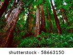 Redwood - stock photo