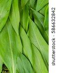 wild garlic leaves detail in... | Shutterstock . vector #586632842