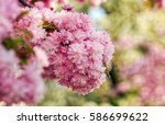 beautiful spring background with pink Sakura flowers closeup on a branch on the blurred background of blossoming garden in springtime - stock photo