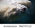 Polar Bear Under The Water