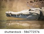 Small photo of American Crocodile