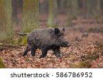 wild boar  sus scrofa  czech... | Shutterstock . vector #586786952