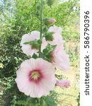 Small photo of Pink hollyhock (Althaea rosea) blossoms