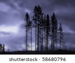 Grove of spruces with blurred blue background - stock photo