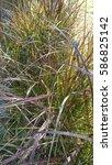grasses in garden | Shutterstock . vector #586825142