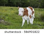 beautiful little calf in green... | Shutterstock . vector #586901822