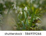 beautiful snowdrop after in... | Shutterstock . vector #586959266