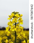 yellow canola rapeseed blooming ... | Shutterstock . vector #587087642