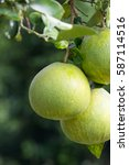 Small photo of Ripe pomelo fruit