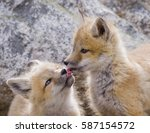 """Small photo of """"Tongue Tied"""" - Two red fox kits taste each others last meal."""