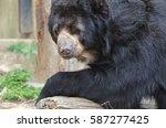 sweet face of a black bear... | Shutterstock . vector #587277425