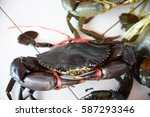 Serrated Mud Crab Or Mangrove...