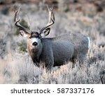 mule deer big buck mule deer | Shutterstock . vector #587337176