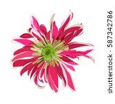 Pink Hand Drawn Chrysanthemum....