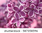 Purple Lilac Flowers As A...