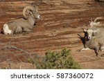 desert bighorn sheep adult male ...