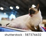 Stock photo a thai kitten 587376632