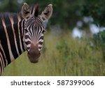 zebra  portrait  savannah ... | Shutterstock . vector #587399006