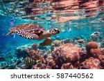 hawksbill turtle   eretmochelys ... | Shutterstock . vector #587440562