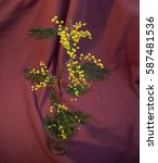 Small photo of Branch of the Acacia dealbata on red