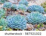 Beautiful Succulent Plant In...