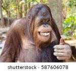 Stock photo cute and funny chimpanzee 587606078