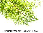 green leaf isolated on the... | Shutterstock . vector #587911562