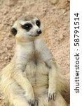 Meerkat From Profile