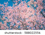 Cherry Blossom Trees In Spring...