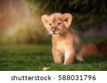 Young Lion Cub In The Green...