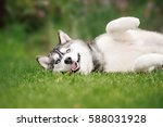 Funny Husky Dog Lying On The...