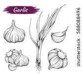 vector hand drawing of garlic... | Shutterstock .eps vector #588088496
