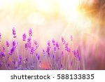 lavender bushes closeup on... | Shutterstock . vector #588133835