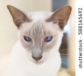 Adult Lilac Point Siamese Cat...