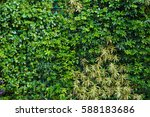 natural green hedge leaf wall  ... | Shutterstock . vector #588183686