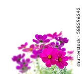 Cosmos Pink Flowers Border...