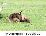 Elk Fawn Or Calf