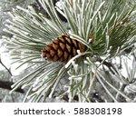 Snowy Ponderosa Pinecone  Pinus ...