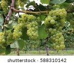 ripening chardonnay grapes ... | Shutterstock . vector #588310142