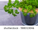 curly parsley. kitchen herb... | Shutterstock . vector #588313046