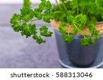 curly parsley. kitchen herb... | Shutterstock . vector #588313046