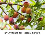 Ripe Red And Yellow Peaches On...