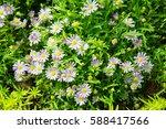 Aster Flower In Garden.