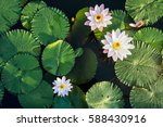 lotus flower and leaf in pond... | Shutterstock . vector #588430916