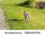 a young labrador retriever... | Shutterstock . vector #588469496