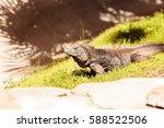 Cuban Iguana Known As Cyclura...