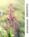 Small photo of Heuchera (alumroot or coral bells) flowers in sun light and rays.